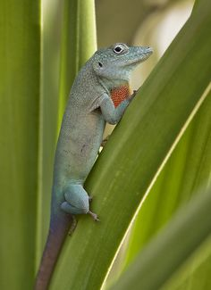 Jamaican Anole, Anolis grahami. June 2010     it looks great