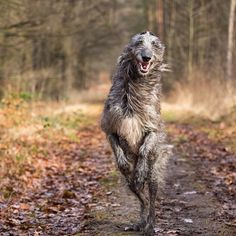Hound Dogs Running Cute Cats And Dogs, Cool Pets, Dogs And Puppies, Symbol Tattoos, Irish Wolfhound Dogs, Scottish Deerhound, Dog Best Friend, Irish Terrier, Lurcher