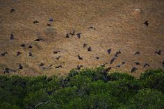 A swarm of giant bats at sunset