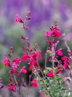 Autumn Sage-Salvias are tough to beat just about everywhere. Autumn sage is an especially fine species that bears evergreen foliage and clusters of red, purple, pink, or violet flowers from late summer through autumn. Like most salvias, this is a favorite of butterflies and hummingbirds.  Name: Salvia greggii  Growing Conditions: Full sun and well-drained soil  Size: To 2 feet tall  Zones: 7-9