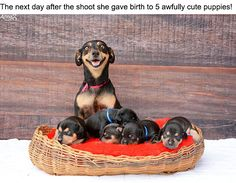"""Maternity Photoshoot Dog Just Gave Birth To 5 Super Cute Puppies """" Remember Lilica, the sensational dog from her maternity photo shoot? More info: Facebook """" View On WordPress"""