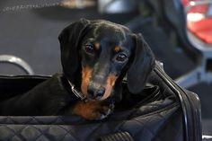 Cute Dog on a Plane - Crusoe