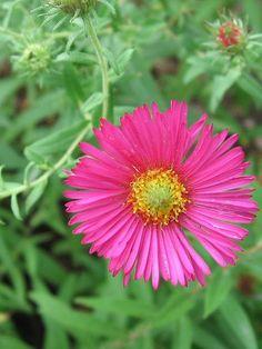 Aster novae-angliae (Michaelmas daisy)