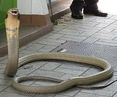 Thai King Cobra: This photo was taken at the Queen Saovabha Memorial Institute and Snake Farm in Bangkok, Thailand in 2008
