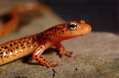 Google Image Result for http://ic2.pbase.com/v3/89/482789/2/45143839.OrangeSalamander3s.jpg