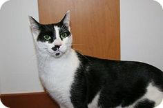06/22/16 SL~~~SPECIAL NEEDS! Domestic Shorthair Cat for adoption in Philadelphia, Pennsylvania - Nipper Kitty. Nipper Kitty was born with a 4/5 heart murmur & was scheduled to be euthanised at animal control before being rescued by Northeast Animal Rescue. She has been to a cardiologist & just needs medicine once a day which is cheap. She has plenty of energy & lots of love to give.