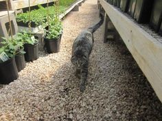 Golden Plains Greenhouse in Colby: Lily the Greenhouse kitty approves of FERTELLIGENT.