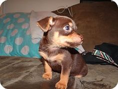 Trenton, NJ - Pomeranian/Yorkie, Yorkshire Terrier Mix. Meet Sage, a puppy for adoption. http://www.adoptapet.com/pet/13242265-trenton-new-jersey-pomeranian-mix