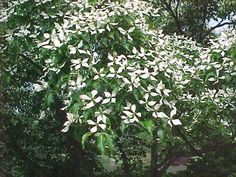 Top 10 Trees to Plant Under Power Lines: #6 Kousa Dogwood (Cornus kousa) - Chinese Dogwood is the Rolls Royce of dogwoods; spring blooms, tiers of horizontal branches, fall foliage, fruit, and winter silhouette offer four seasons of beauty. Chinese, or kousa, dogwood is highly resistant to dogwood anthracnose, a disease killing large numbers of the flowering dogwood native to the U.S. Plant this tree 6-10 feet out from under the lines and avoid future pruning challenges.