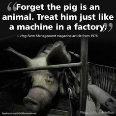 sad that we may forget that the pig is an animal and treat him like a machine in a factory; please stop financing animal cruelty Vegan Animals, Farm Animals, Hog Farm, Factory Farming, Why Vegan, Stop Animal Cruelty, Animal Testing, All Gods Creatures, Animal Welfare