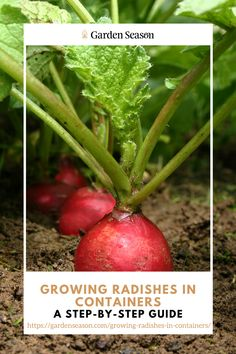 Growing Radishes in Containers | A Step-By-Step Guide | Choosing a container for growing radishes depends on what variety you're growing. Large containers with good drainage and can retain an adequate amount of moisture at the same time is ideal.  Select a container that is at least six inches deep for radish varieties including April Cross, Cherry Belle, and Purple Plum. Larger varieties such as Daikon require a container that is 12 to 14 inches deep. Easy Vegetables To Grow, Large Containers, Edible Garden, Step Guide, Plum, Larger, Cherry, Deep, Canning