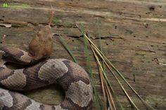 northern copperhead snake