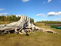 árbol, tronco, raíz, lago, canoa, parque, 1705081613