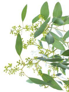 Eukalyptus verströmt einen wunderbaren Duft! Die Sorte Populus zeichnet sich durch ihre verhältnismäßig großen Blätter und ihre hellgrünen Beeren aus. Aufgrund der sehr unterschiedlichen Stielgröße können Sie diesen Artikel nur im Bund erwerben. Ein Bund enthält 3 -10 Stiele. …