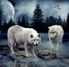 Two white Wolves