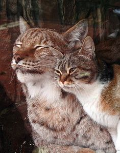this lynx and cat live together at saint petersburg's zoo