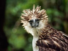 An agitated Philippine eagle raises its head feathers in Mount Apo National Park in the Philippines.