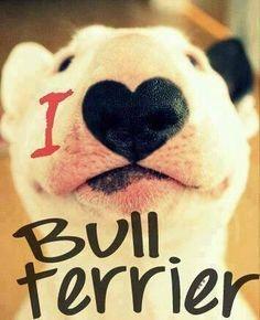 Bull Terrier - by Página de comunidade sobre Bull Terrier Facebook
