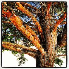 Pine tree awesomeness...