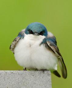 peregrineinastoop: Tree Swallow by Joel DeYoung