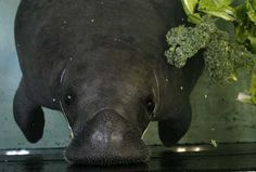 Snooty here at the South Florida Museum, back in 2008.