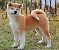 #Akita dog Akita Puppies, Akita Dog, Cute Puppies, Dogs And Puppies, Japanese Dog Breeds, Japanese Dogs, Chien Akita Inu, Shiba Inu, Pet Puppy