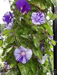 Japanese Morning Glory,Blush Purple,large velvet purple striped blossoms !
