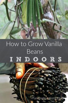 How to grow vanilla beans: Vanilla Bean Plant Info - Gardening - # . - Garten - How to grow vanilla beans: Vanilla Bean Plant Info – Gardening – # grown - Diy Gardening, Gardening For Beginners, Organic Gardening, Flower Gardening, Gardening Gloves, Hydroponic Gardening, Gardening Supplies, Hydroponics, Indoor Vegetable Gardening