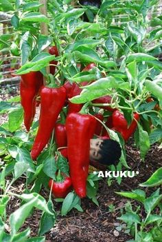 Growing Peppers, How to Grow Peppers, Growing Bell Peppers Fruit And Veg, Fruits And Vegetables, Types Of Peppers, Chilli Plant, Growing Bell Peppers, Hottest Chili Pepper, Planting Vegetables, Stuffed Sweet Peppers, Fruit Garden