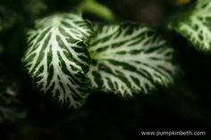 A close up of the Fittonia leaf.  Pictured on the 8th December 2015 inside my BiOrbAir terrarium.