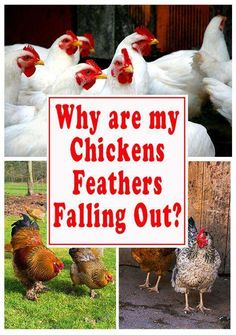 6811bb45a Find out all of the reasons why your backyard chickens' feathers could be  falling out