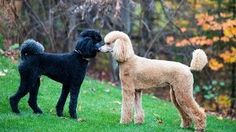 Top 10 Dog Breeds, Poodle, Dogs, Animals, Life, Animales, Animaux, Pet Dogs, Poodles