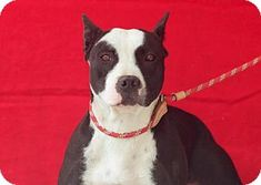 URGENT! AT HIGH KILL DOWNEY SHELTER! Pictures of MOLLY a Pit Bull Terrier Mix for adoption in Pasadena, CA who needs a loving home.