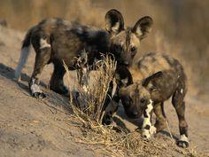 African Wild Dog Pups. #LionWorldTales #Travel #WildDog #FunFacts #DidYouKnow #Safari #Africa