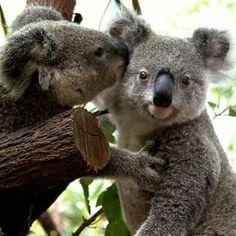 Cute Koala Bears (8)