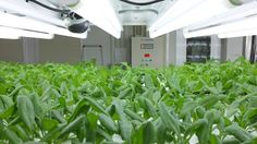 This indoor farm in Japan used to be a floppy disk factory Compost Tea Brewer, Types Of Farming, Growing Lettuce, Floppy Disk, Grow Tent, Room To Grow, Grow Lights, Recycling, Indoor