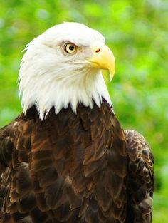 Eagle by Aric Jaye on All Birds, Birds Of Prey, Love Birds, Beautiful Birds, Animals Beautiful, Cute Animals, Eagle Wings, Eagle Eye, Eagle Wallpaper