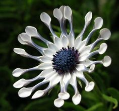 African daisy whirligig