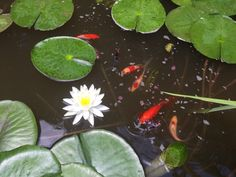 Goldfish in pond with lilly in bloom.