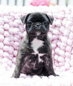 Boston terriers are the cutest dogs buy NOTHING is cuter than a bugg puppy. I remember when olive was this size :)