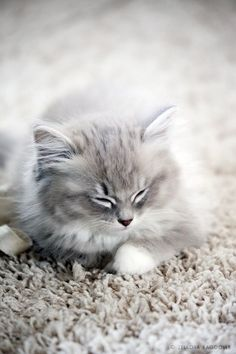 A grey and white kitten blending into the carpet.