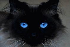 Beautiful Blue Eyes Great detail for beautiful cat eyes Beautiful Blue Eyes, Beautiful Cats, Animals Beautiful, Cute Animals, Beautiful Pictures, Eyes Wallpaper, Mobile Wallpaper, Cat With Blue Eyes, Tier Fotos