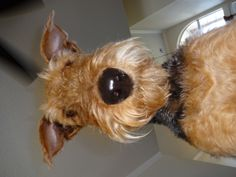 Airedale Looks like a Black patent leather nose!