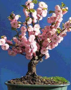 Prunus Triloba Seeds (Rose Tree of China, Flowering Almond) - See more at: http://www.rarexoticseeds.com/en/bonsai-seeds/prunus-triloba-seeds-rose-tree-china-flowering-almond-seeds.html