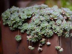 Orostachys furusei - See more at: http://worldofsucculents.com/orostachys-furusei