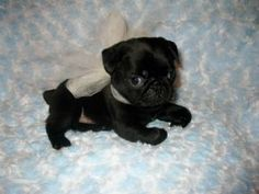 black baby pugs #CUTE!!!!!!!!!! @Kelsey Price