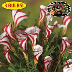 "Rare Oxalis Versicolor - 3 Bulbs - Welcome spring with easy-to-grow bulbs that actually bloom inside during winter months!      Unique trumpet-shaped, red and white striped blossoms add curb appeal     Grow 9""-12"" tall with 1"" flowers     Perennials     Plant in sun or shade     Includes 6"" container"