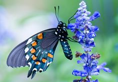 Plant a Butterfly Garden  Pipevine Swallowtail These dramatic-looking butterflies with large black and iridescent blue wings are poisonous to predators.