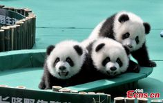 The world's first surviving panda triplets