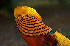 Golden Pheasant by Richard Taylor